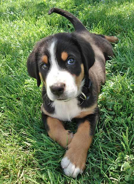 Greater_Swiss_Mountain_Dog_Puppy.jpg