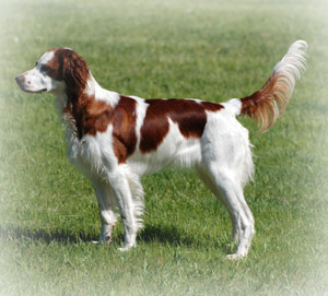 irish red and white setter header