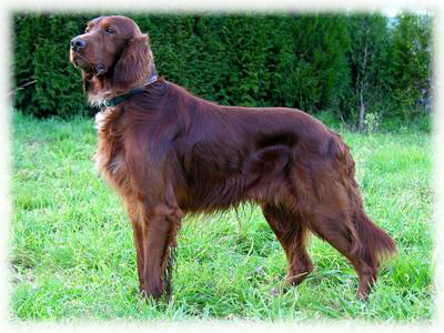 Irish_Setter_Dog.jpg