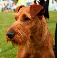 irish terrier middle aged