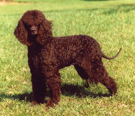 Irish_Water_Spaniel.jpg