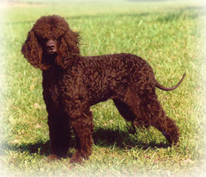 Irish_Water_Spaniel_Dog.jpg