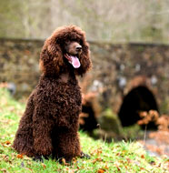 Irish_Water_Spaniel_Middle_Aged.jpg