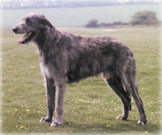 Irish_Wolfhound_Dog