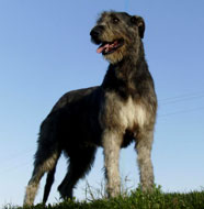 Irish_Wolfhound_Middle_Aged.jpg