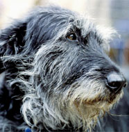 Irish_Wolfhound_Older.jpg
