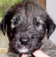Irish_Wolfhound_Puppy.jpg
