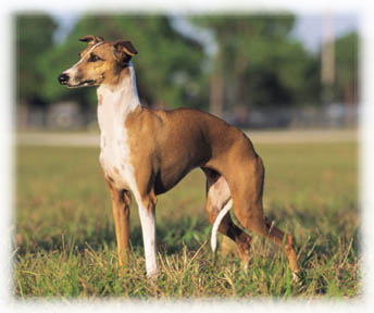 Italian_Greyhound_Dog
