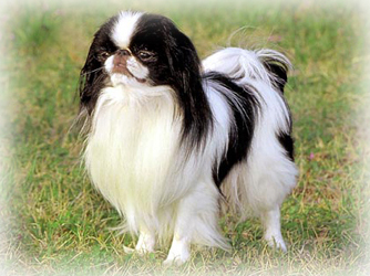 Japanese_Chin_Dog.jpg