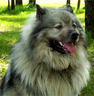 keeshond_middle_aged