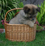 keeshond_puppy