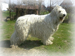 Komondor_Dog.jpg