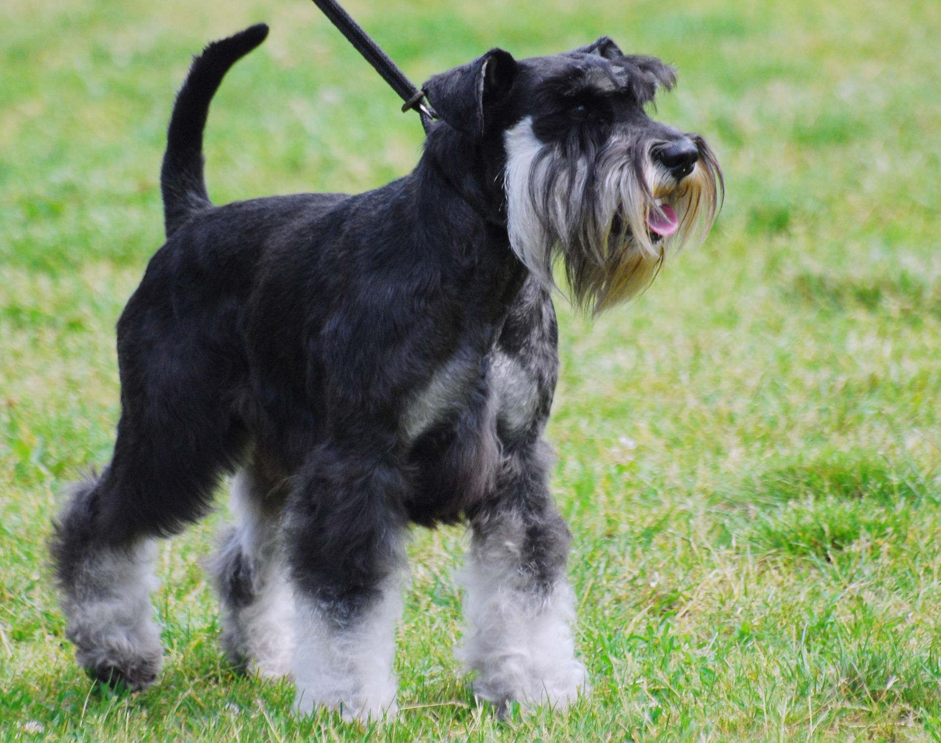 Middle_Aged_Miniature_Schnauzer.JPG