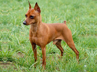 Minature Pinscher.jpg