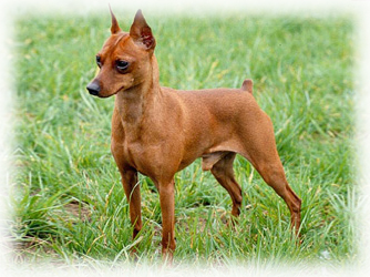 Minature_Pinscher_Dog