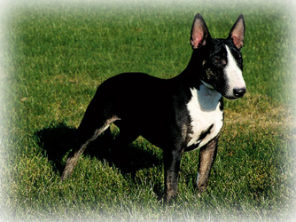 Miniature_Bull_Terrier_Dog.jpg