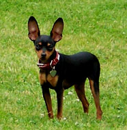 Miniature_Pinscher_Middle_Aged.jpg