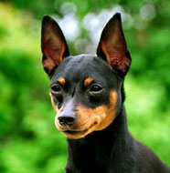 Miniature_Pinscher_Older.jpg