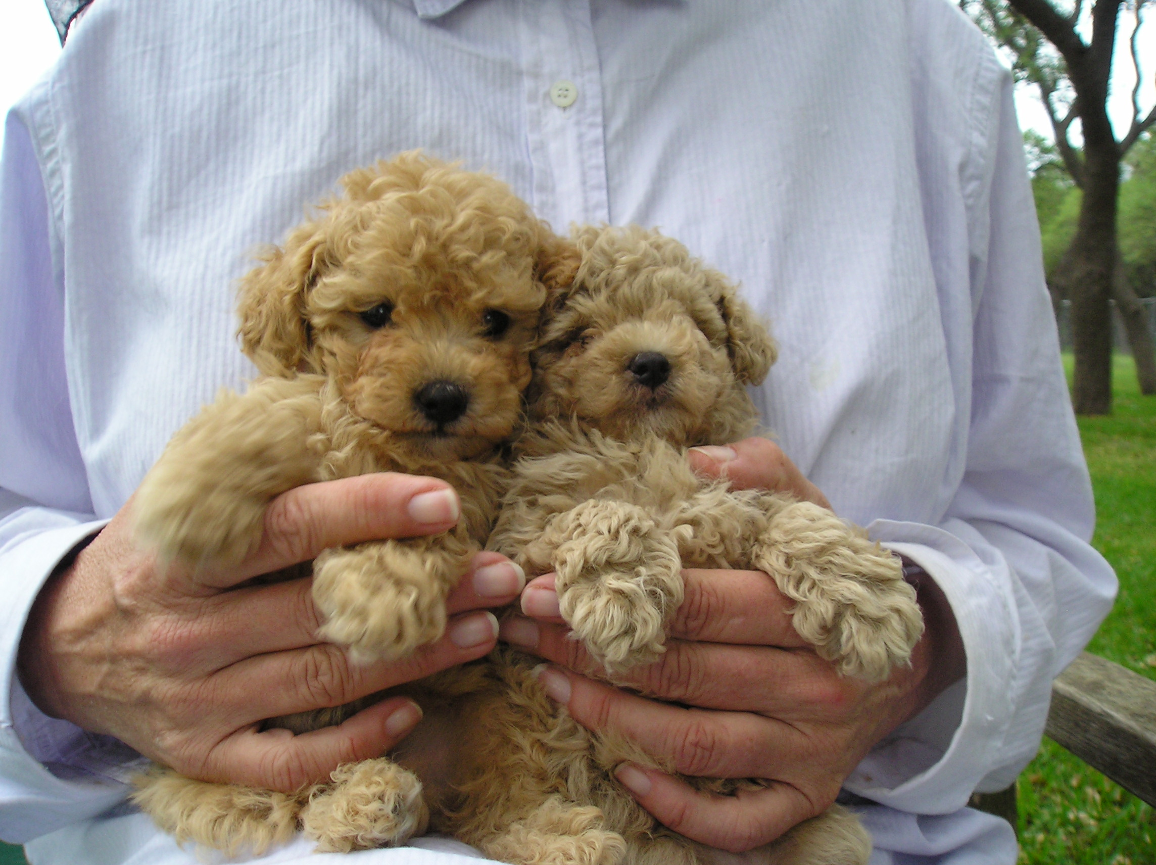 Miniature_Poodle_Puppies.JPG