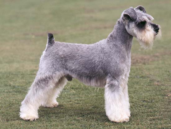 Miniature Schnauzer Short Hair Dogs