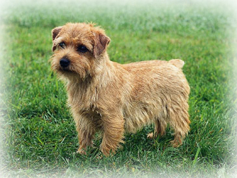 Norfolk_Terrier_dog.jpg