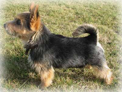 Norwich_Terrier_Dog