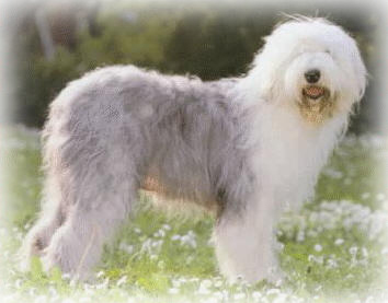 Old_English_Sheepdog_Dog.jpg