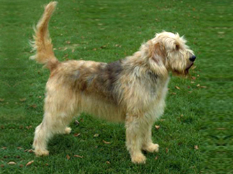 Otterhound.jpg