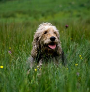 Otterhound_Middle_Aged.jpg