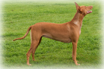 Pharaoh_Hound_Dog.jpg