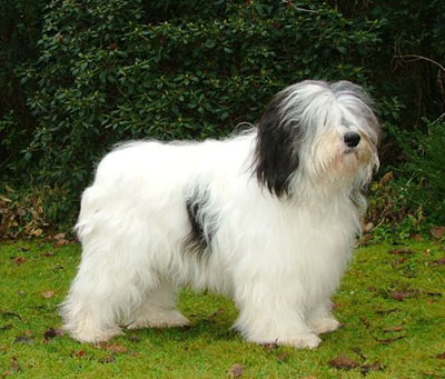 Polish_Lowland_Sheepdog.jpg