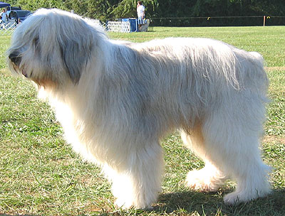 Polish_Lowland_Sheepdog_Middle_Aged.jpg