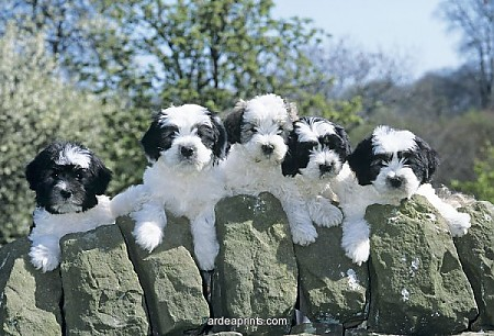 Polish_lowland_Sheepdog_Puppy.jpg