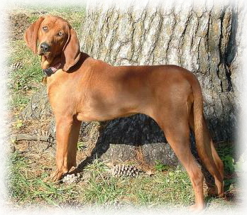 Redbone_Coonhound_Dog.jpg