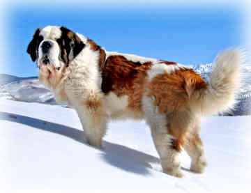 Saint_Bernard_Dog.jpg
