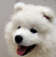 Samoyed_Puppy.jpg