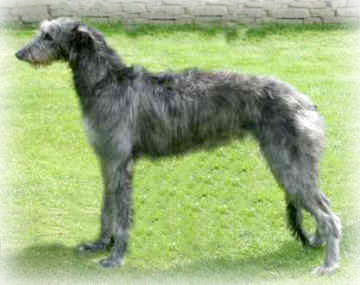 Scottish_Deerhound_Dog
