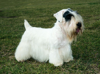 Sealyham_Terrier.jpg