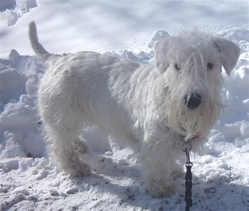 Sealyham_Terrier_Middle_Aged.JPG