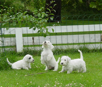 Sealyham_Terrier_Puppy.jpg