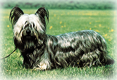 Skye_Terrier_Dog.jpg