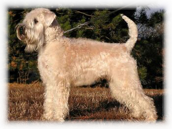 Soft_Coated_Wheaten_Terrier_Dog