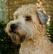 Soft_Coated_Wheaten_Terrier_Middle_Aged.jpg