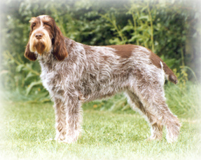 Spinone_Italiano_Dog%20copy.jpg