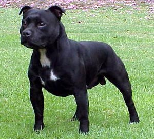 Staffordshire_Bull_Terrier_Middle_Aged.jpg