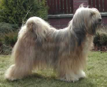 tibetan_terrier_middle_aged