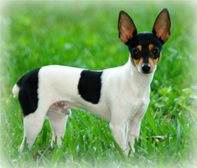 Toy_Fox_Terrier_Dog.jpg