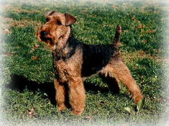 Welsh_Terrier_Dog.jpg