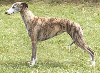 Whippet._Middle_Aged.jpg