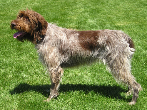 Wirehaired_Pointing_Griffon.jpg